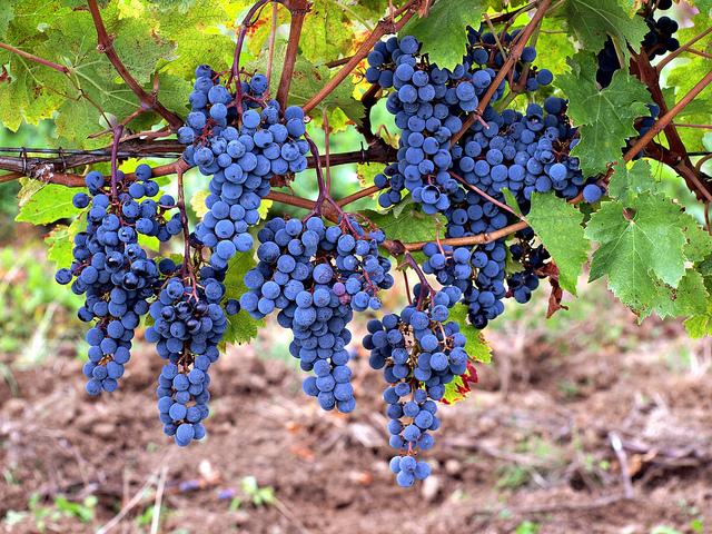 A szőlő oltvánnyal érdemes sokat foglalkozni